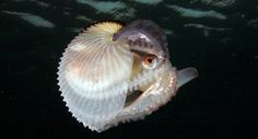 Female argonauts, a group of four species that are close cousins of octopuses, grow delicate white shell-like cases.