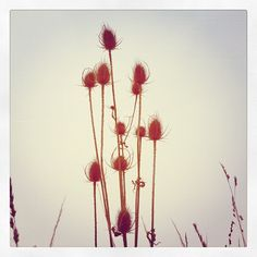 thistle Dandelion, Amazing, Flowers, Plants, Dandelions, Flora, Plant, Royal Icing Flowers, Flower