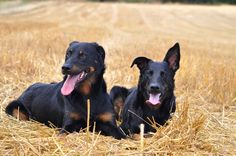 Brothers #yummypets #beauceron