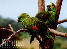 O papagaio-verdadeiro é principalmente um papagaio verde com cerca de 38 cm (quinze polegadas) de comprimento e pesa cerca de quatrocentos gramas. Tem penas azuis na testa, acima do bico e amarelo na cara e coroa.  É uma das espécies mais inteligentes de ave do planeta. Sua expectativa de vida é de oitenta anos. #Portobello #Resort #Safari