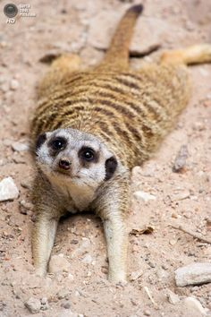 Cute little meerkat stretched out frog legged Animals And Pets, Baby Animals, Funny Animals, Cute Animals, Cute Creatures, Beautiful Creatures, Animals Beautiful, Photo Animaliere, Tier Fotos