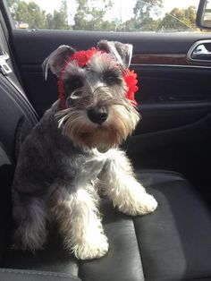 What a darling little mini schnauzer