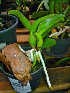 cultivando Orquídeas e idéias: SOBRE AS RAIZES DAS ORQUIDEAS- O SEGREDO DA SAUDE ...