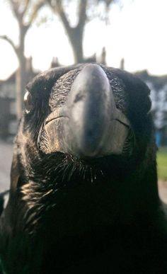 Image: Raven Merlina, by Tower of London Ravenmaster, Chris Skaife