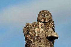 Great Grey Owls in Norway by Tom Schandy