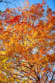 view of autumn tree. - Low angle view of autumn tree.