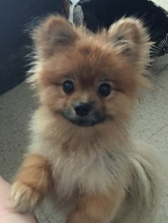 Corduroy, the Pomeranian More Source by The post Corduroy, the Pomeranian & appeared first on AL Pets. Cute Puppies, Cute Dogs, Dogs And Puppies, Doggies, Cute Little Animals, Little Dogs, Animals And Pets, Funny Animals, Cute Pomeranian