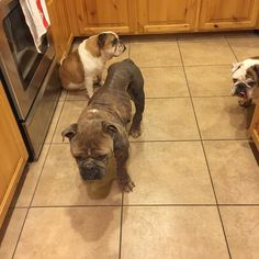 """It's another round of Bulldog Kitchen Obstacle! Want to test your agility skills? Try cooking with these """"helpers"""" around"""
