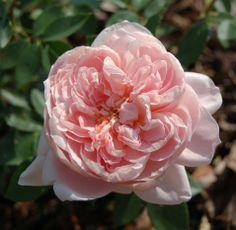b54bc9aeea8d7 Colette est un rosier arbustif et paysager de 150 cm. La fleur de coloris  original