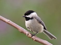 Carolina Chickadee:...these little ones are so smart. They, I think, would be the easiest to hand train because they fly over when I put seed out and come so very close. They know I'm safe.