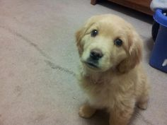 Goldens, best family dog ever why hello cutie!