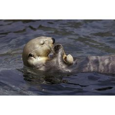 Posterazzi Sea Otter Floating On Back Eating Clams Alaska Canvas Art - Michael DeYoung Design Pics (34 x 22)