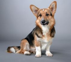 Discover the Cardigan Welsh Corgi dog breed. Learn about the origin, history, personality & care needs of Cardigan Welsh Corgi dogs. Corgi Breeds, Corgi Dog Breed, Pembroke Welsh Corgi Puppies, Akc Breeds, Corgi Mix, Corgi Facts, The Cardigans, 15 Dogs, Beautiful Dog Breeds