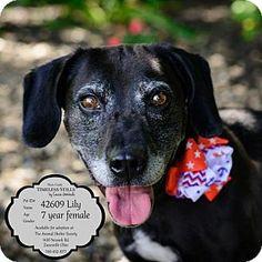 ***SENIOR*** Zanesville, OH - Hound (Unknown Type)/Labrador Retriever Mix. Meet 42609 Lily SENIOR sponsored $55 plus tags, a dog for adoption. http://www.adoptapet.com/pet/13281616-zanesville-ohio-hound-unknown-type-mix