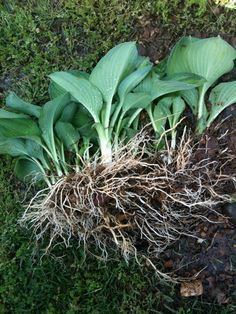 how to thin and divide hostas properly...