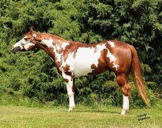 Rising Water Quarter Horses - Stallions