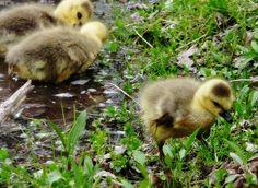 I like ducks they are keeoote.  That's why I like ducks.