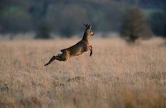 a leaping roe deer
