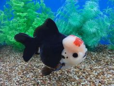 """Lot# 10306 Triple """"A"""" Tri-color Ingot Oranda   Very nice head-growth with a cute chubby face. Very nice conformation with up-right dorsal and matching short tail. A very nice full body with cute pompons. Beautiful coloration with strong black.  Save on shipping...only $65 next day or $45 for 2-day shipping."""