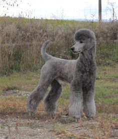 More About The Proud Poodle Dog Grooming Puppy Obedience Training, Basic Dog Training, Dog Training Videos, Training Dogs, Poodle Grooming, Dog Grooming, Silver Poodle, Grey Poodle, Poodle Haircut