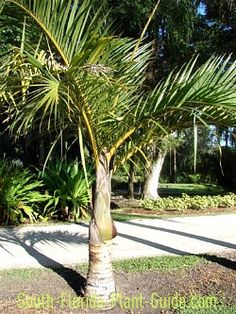 The stately spindle palm is set off by golden stalks when young and pillar-like trunks when mature.  Read all about it!