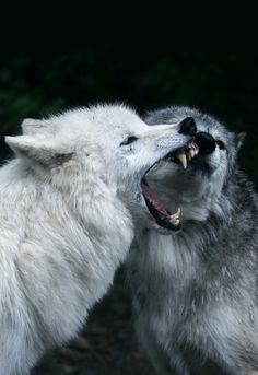 Wolves Fighting (by SoarinWonder)