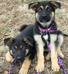 German Shepherd puppies, too cute!