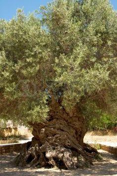 L'antico olivo (Olea europaea) a Vouves, Kolimbari nel distretto di Creta. Archivio Fotografico - 957740