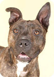 Chicago IL - American Pit Bull Terrier. Meet Austin a dog for adoption.