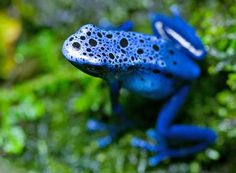 The Blue Arrow Poison Frog comes by its poison through its diet of small, often venomous insects. Instead of metabolizing toxins in its diet, the frog instead safely stores them in its skin.