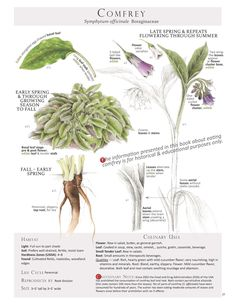 Comfrey (Symphytum officinale) Plant Identification page from our book Foraging & Feasting: A Field Guide and Wild Food Cookbook by Dina Falconi; illustrated by Wendy Hollender. Healing Herbs, Medicinal Plants, Edible Wild Plants, Plant Identification, Wild Edibles, Botanical Drawings, Growing Herbs, Herbal Medicine, Medicine Garden