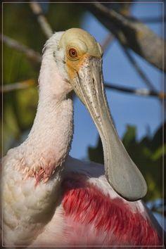 Sanibel Spoonbill - Sanibel, Florida by Gregory Wagner