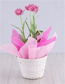 Perfect plants tulips Gifts , Netflorist offers a range of plants tulips Gifts. Order today on South Africas Largest same day delivery Service. Order Plants Online, Same Day Delivery Service, Planting Tulips, Plant Basket, Purple Tulips, Perfect Plants, Special Occasion, Planter Pots, Flowers