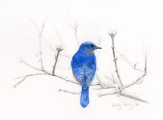 Here we have a male Eastern Bluebird (latin name: Sialia sialis) perched on a tree branch. Males are a brilliant blue and females are lighter with more brown in their coloring. During this time of ...