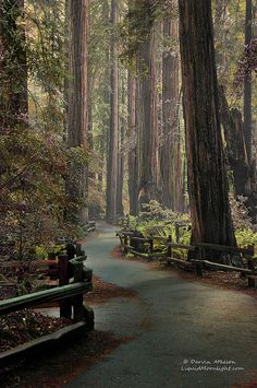 A beautiful walk among the Ancient Redwoods, Muir Woods National Monument, Mill Valley, California