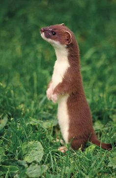 LEAST WEASEL....live in a variety of habitats in North America, Europe, north Africa and Asia....the smallest mustelid and the smallest carnivore....measure 6.5 - 9.5 inches long with a 1.25 - 3.5 inch long tail....very similar to the stoat/ermine who has a spot on its tail