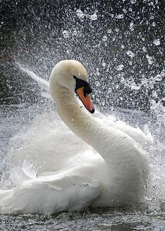 Swan by Kathy Gibbons