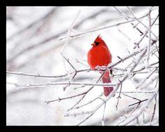 cardinal.bird.photo.0023.jpg (320×256)