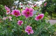Image from http://blogs.mydevstaging.com/blogs/everydaygardeners/files/2013/08/Japanese-Anemone-tomentosa-Robustissima.jpg.