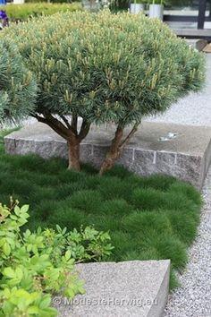 Ulf Nordfjell / Chelsea 2009 - The Daily Telegraph Garden, Best Garden in Show (Pinus sylvestris 'Watereri', Festuca gautieri) Small Gardens, Outdoor Gardens, Japenese Garden, Tropical Garden Design, Garden Pictures, Garden Inspiration, Garden Ideas, Dream Garden, Amazing Gardens