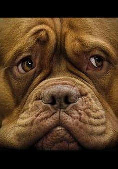 LOOOK ;-))))))  Dogue de Bordeaux Puppy (French Mastiff ) #by Fotograf: jm-we