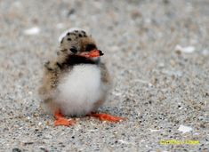 BABY PUFFIN - a Puffling!