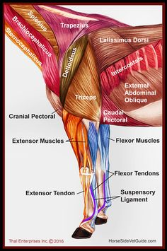 Quick Reference Front Limb Muscles from Side HSVG