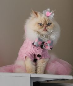 Celeb Cute Pet Of The Week: Luna The Fashion Kitty