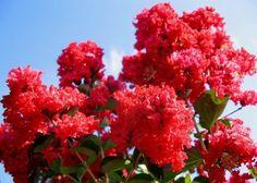Bez południa Petite Red - Lagerstroemia  indica Petite Red