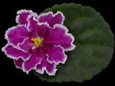 African Violet Plant- Hot Foot (LARGE BLOOM)
