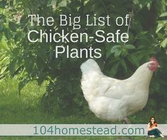 Find out which plants are safe for your chickens to eat.