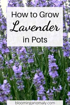 Learn to grow the popular herb lavender in pots. There are different types of lavender plants you can grow. Click on the pin to learn more ways to grow lavender! Growing Lavender, Growing Flowers, Planting Flowers, Flowers For Garden, Beautiful Flowers Garden, Iris Flowers, Types Of Lavender Plants, Plants For Under Trees, Plants That Love Sun