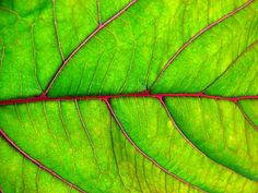 Chlorophyll   por dominik18s