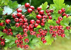 The Benefits of Hawthorn